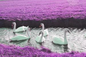 fairytail swans purple grass by priesteres-stock