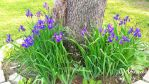 wild irises by virnagray