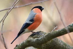 Bullfinch by Vejr
