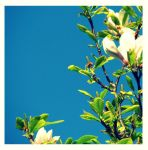 The Magnolia Tree by eileanrose
