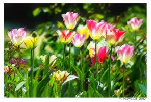 tulips painting effect by bracketting94