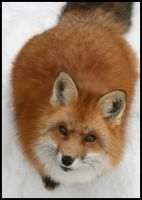 Loaf Fox by rootscape