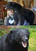 First Mammal Mount - American Black Bear by LuxTaxidermy
