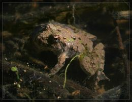 Cricket Frog 20D0039300 by Cristian-M