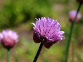 Chives by techunit
