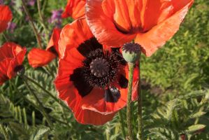 Giant Poppies by linderel