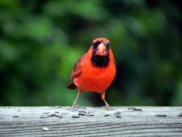 cardinal by Lou-in-Canada