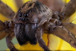 Wolf Spider 2 by mant01