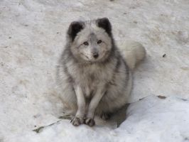 Arctic Fox 08 by animalphotos