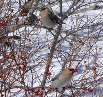 Bohemian Waxwings northbound by stubirdnb