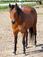 Quarter Horse 43 by EquineStockImagery