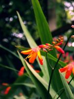 Crocosmia by AbbyDebz101