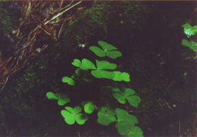 Oxalis acetosella by simsunas