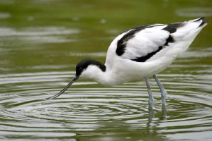 Avocet by 30-noir