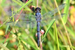 Male Slaty Skimmer by wreckingball34