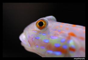 Diamondback Goby by atengphotography