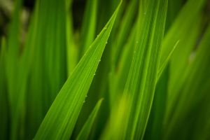 Tall Grass After Rain by cmlarson