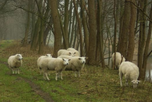 Sheep on the dike 3 by steppelandstock