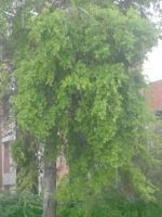 Day 129: Rain drenched tree by Caedy