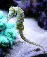 Seahorse by BSeanD