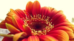 Gerbera the Second =) by nzih