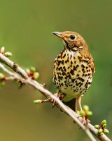 thrush by Murawski