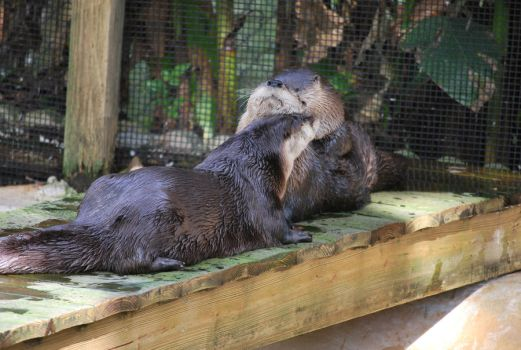 River Otters 2 by SBG-CrewStock