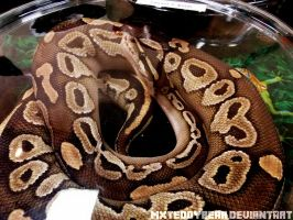 Lesser Ball Python by MxTeddybear