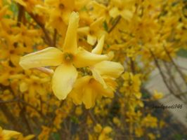 Yellow Star Flowers by sandyandi146