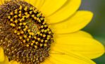 Day 231: The Sunflower by umerr2000