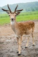 Deer 2 by tpphotography