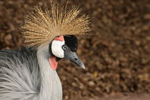 East African Crowned Crane by Destined2see