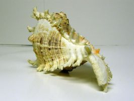 Conch Shell Stock15 by NoxieStock