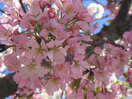 Pink Cherry Blossoms by wickedlady