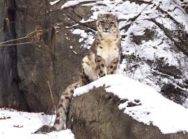 Snow Leopard Stock 32 by HOTNStock