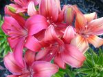 Stock Pink - Red Lillies by Daturaemo