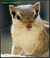 portrait of a squirrel by kumarvijay1708