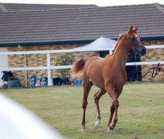 GE Arab chestnut young trot front view by Chunga-Stock