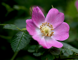 Wild Rose by bmh1