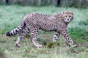 Cheetah 03 by LydiardWildlife