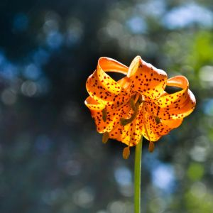 Leopard Lilly - III by KnittedBunny