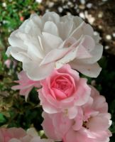 Pink and White Roses by Rubyfire14-Stock