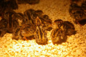 Quail chicks by Silver-she-wolf-14