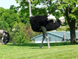 Ostrich 10 by Unseelie-Stock