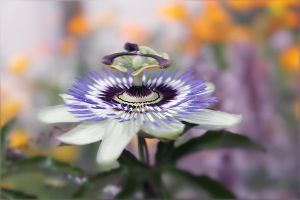Passiflora by hv1234
