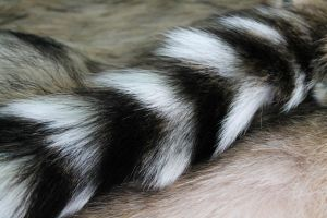 Ringtail Cat Tail by Antlertine