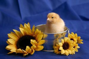 Baby Chick by bnspencer