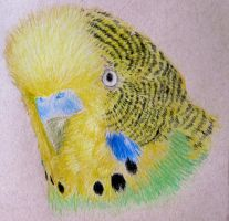 Budgie by Cuthillius