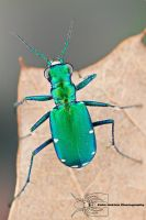 Six-spotted tiger beetle - Cicindela sexguttata by ColinHuttonPhoto
