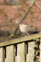 Eurasian Collared Dove by JetteReitsma